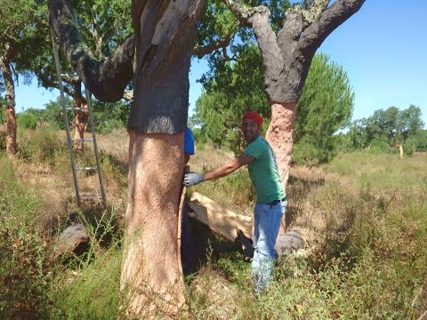 Dalla quercia al tappo, ovvero come nascono i tappi di sughero. Prima parte