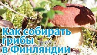 Финляндия: сбор грибов и ягод