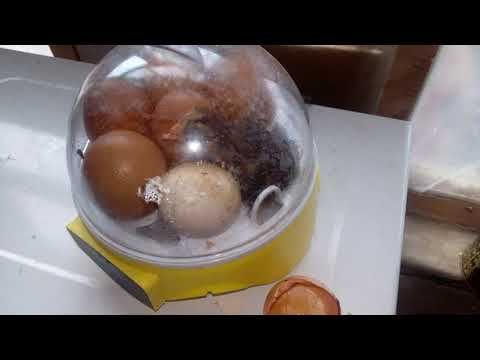 Рождения цыпленка в мини инкубаторе часть 2