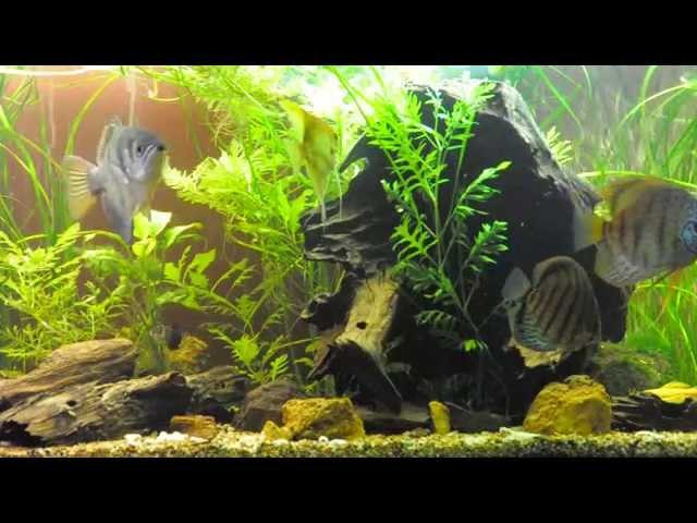 Community Fish Tank Aquarium - Archerfish Discus Angelfish