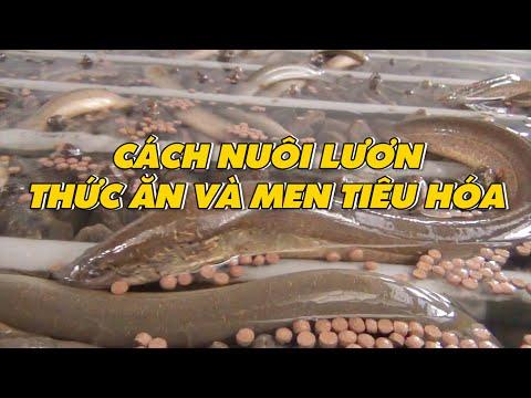 Cách nuôi lươn - thức ăn và men tiêu hóa - nuôi lươn không bùn