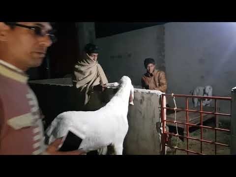 Rajanpuri Bakray - Imran bhai Kay Rajanpuri Bakray Lahore