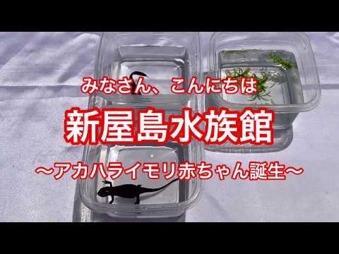 新屋島水族館【公式】アカハライモリ 〜赤ちゃん誕生〜