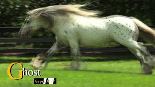 GHOST RIDER:  Spotted Gypsy Vanner Stallion for Sale