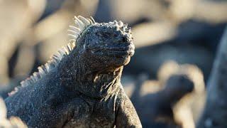 The Marine Iguana | A Perfect Planet | BBC Earth