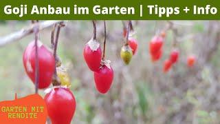 Goji  Anbau im Garten | Tipps + Info | Superfood oder nur Marketing? Geschmack und Reifezeit
