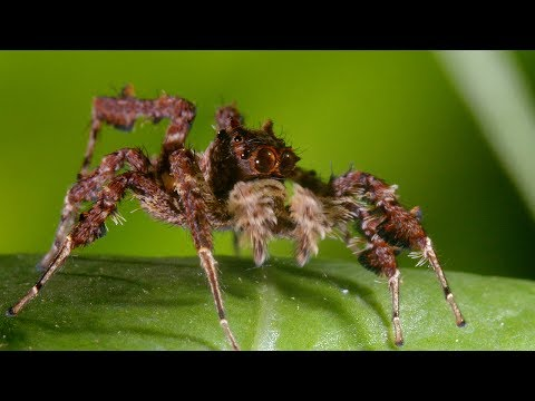 Spider With Three Super Powers | The Hunt | BBC Earth