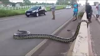 Traffic halts as Giant Anaconda Crosses Road