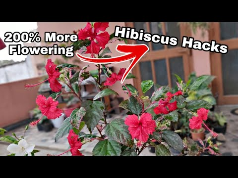 Get 200% more Flowering on hibiscus, Gardening secret for hibiscus flowers