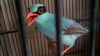 Burung Ekek Keling Gacor Nembak Keras