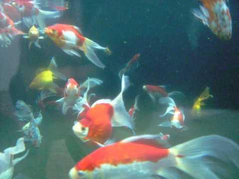 庄内金魚・玉サバ・朱文金 (Goldfishes)