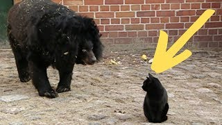 Massive Bear Spots A Cat In Her Enclosure And Makes A Move That Defies The Laws Of Nature