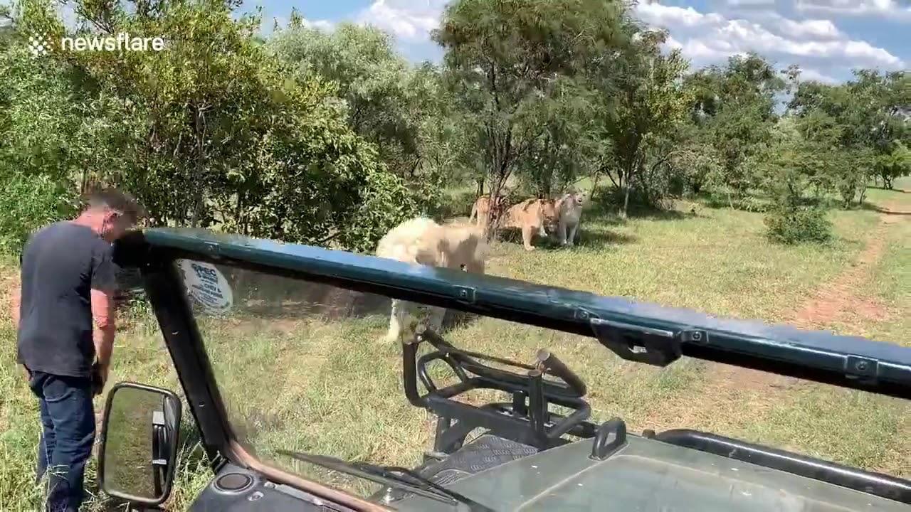 Хозяин фермы показал туристам своих львов