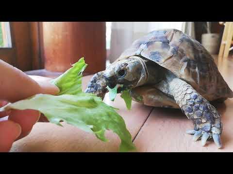 ASMR リクガメがレタスを食べる音 tortoise eats lettuce
