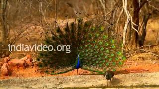 Dancing Peacock, Ranthambore National Park