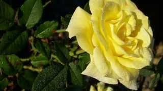 Все цветы для Вас любимые женщины Дарите женщинам цветы Красивое музыкальное поздравление женщине