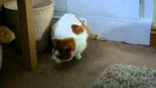 katze wackelt mit dem kopf