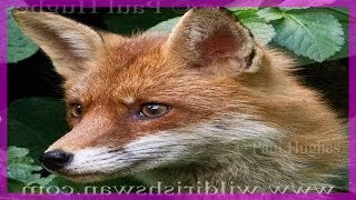 What Does The Fox Say? These are the sounds of a real Fox