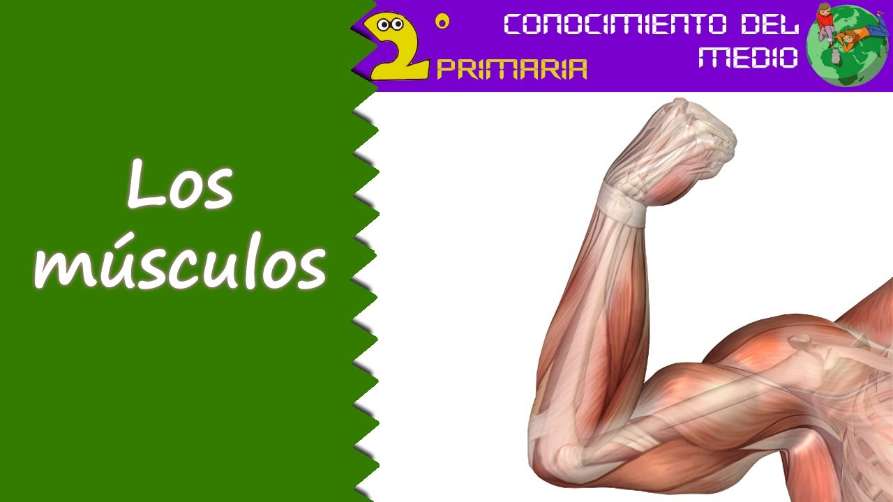 Cono, 2º Primaria. Tema 1. Los músculos