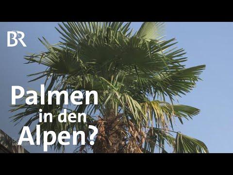 Klimawandel: Wie die Hanfpalme Pflanzen im Alpenraum verdrängt | Gut zu wissen | BR