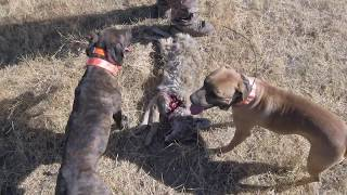 California Coyote Hunting With Dogs: Some Dog Work