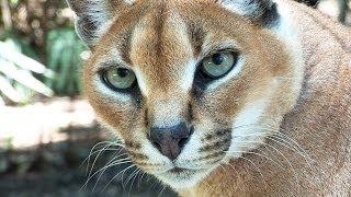 Help Build New Wild Cat Enclosure!