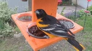 Baltimore Oriole Eating Jelly