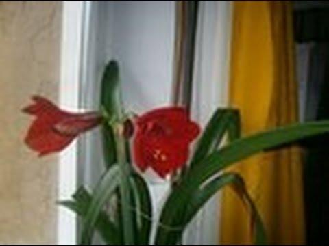 Гиппеаструм комнатное растение(домашняя лилия).