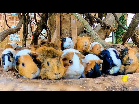花を上向きに持って欲しい飼育員と下向きに持ちたい動物達【モルモット・チンチラ・ウサギ】Guinea pig, chinchilla and rabbit eating flower