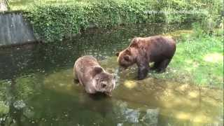 preview picture of video 'Braunbären, Tierpark Hellabrunn, München - Germany HD Travel Channel'