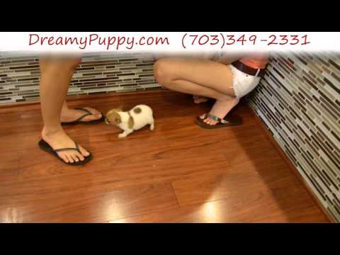 Stunning Pomchi Male Puppy