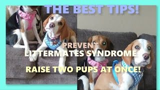 THE BEST TIPS TO PREVENT LITTERMATE SYNDROME WHEN RAISING TWO PUPPIES