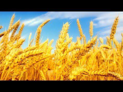 Выращивание пшеницы как бизнес идея
