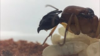 Banded sugar ant (Camponotus Consabrinus) update!