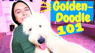 How To: Care for a Goldendoodle (or Labradoodle)!
