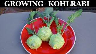 Growing Kohlrabi In Raised Beds - How To Grow Kohlrabi