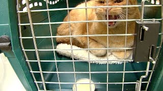Angry Cat at the Vet - Fractious Cat Restraint