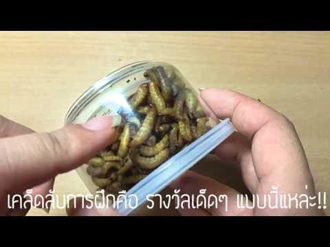 Polyoxidonium กับ Giardia