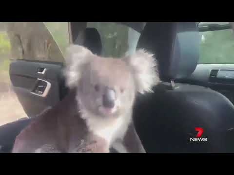 After a local winemaker left the car door open, a curious koala decided to take advantage of the air-conditioning.