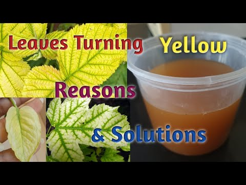 , title : 'Plants Leaves Turning Yellow- Reasons & Treatment/ Leaves Turning Yellow- Reasons and Treatment