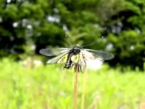 キバネツノトンボの飛翔