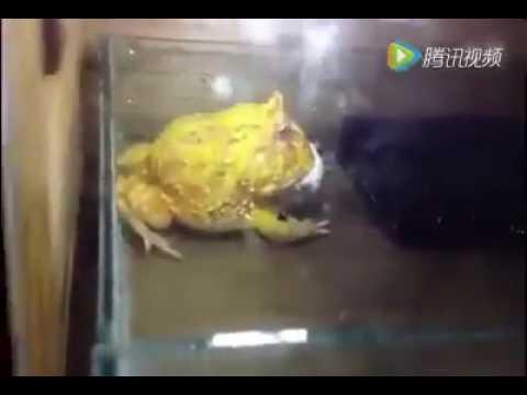 好兇猛的蛙