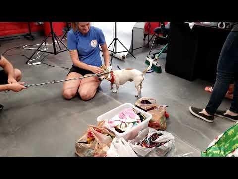 OSCAR, an adoptable Parson Russell Terrier Mix in Phoenix, AZ