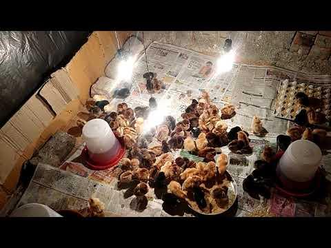 Ghar ki chhat par desi murgi palan  pocket money    - Bright poultry