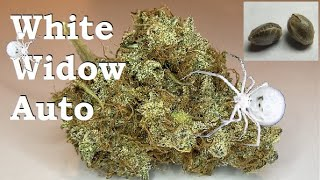 Auto-flower grow guide. Seed to dry weight White Widow Auto, from Crop King Seeds!