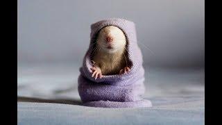 Кака назвать крысу  Клички для грызунов  Советы для владельцев крыс   Clicks for rodents