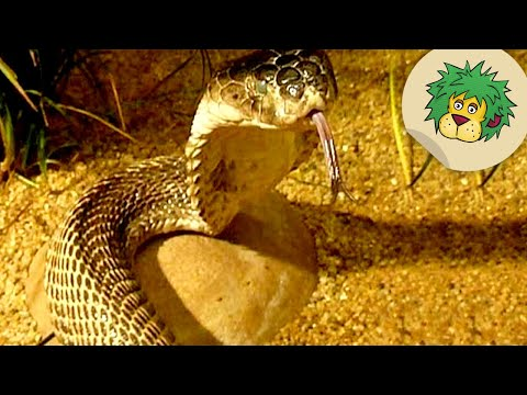 Das Medikament der Würmer der Pfriemenwürmer