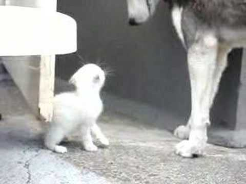Puppies and Flowers : Kitten takes on a Husky