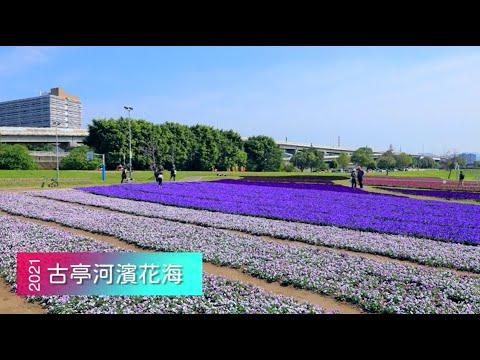 現場直擊》美炸!古亭「紫爆」花海 13萬盆花浪漫滿開