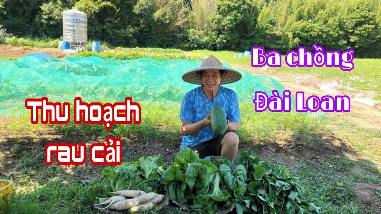 Cuộc sống Đài Loan| Ba chồng Đài thu hoạch cải sậy, rau lang, đu đủ, củ cải trắng, xà lách, cải xoăn thumbnail